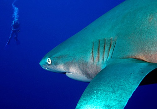 big-eye-thresher-shark