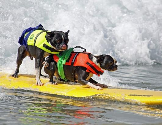 Dogs Surfing at California Beach 12