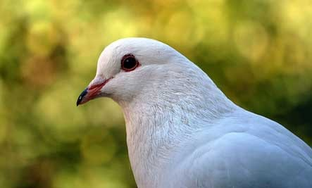 homing-pigeon-digart