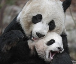 panda-couple-picture