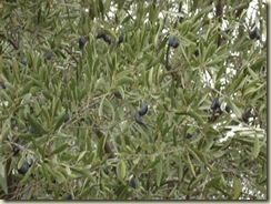olives roquessels_1_1