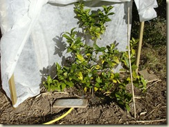 sun for lemon tree_1_1