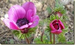 anemones_1