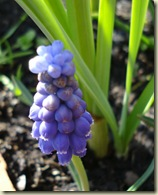 grape hyacinth1_1_1_1