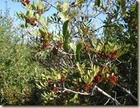 Pistacia lentiscus_1_1