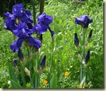 purple irises_1_1