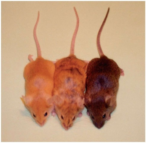 Genetically identical mice carrying the Avy allele display variegation and variable expressivity. The mouse on the left is termed yellow, the middle mouse is termed mottled, and the mouse to the right is termed pseudoagouti