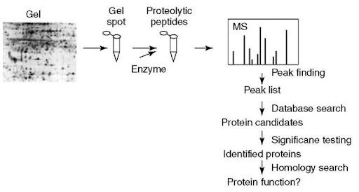 Protein fingerprinting (Proteomics)