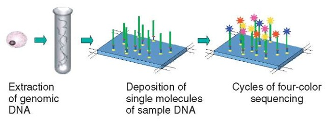 Single molecule array sequencing. Arrays of single molecules are created by binding randomly fragmented genomic DNA to a chip surface as primed templates. Addition of fluorescently labeled nucleotides and DNA polymerase allows sequence determination.