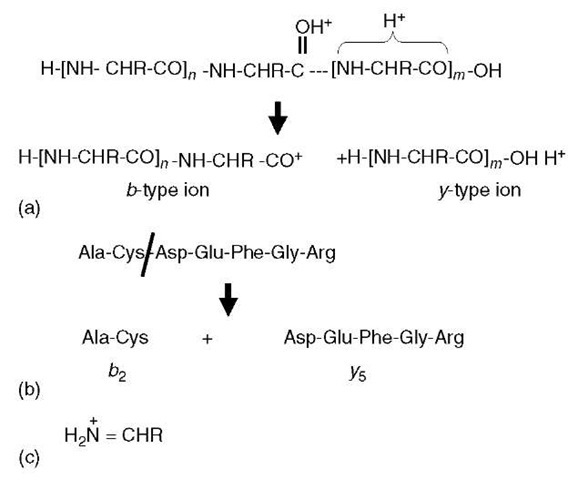 Peptide fragment ions. (a) A doubly protonated peptide has one proton sequestered within the C-terminal portion of the molecule and the other is protonating the carbonyl oxygen. This latter protonation weakens the amide linkage (dotted line) to the point that the peptide ion fragments into a C-terminal y-type ion and an N-terminal b-type ion. (b) This example indicates that b- and y-type ions are numbered according to the number of residues each ion contains. (c) Structure of immonium ions