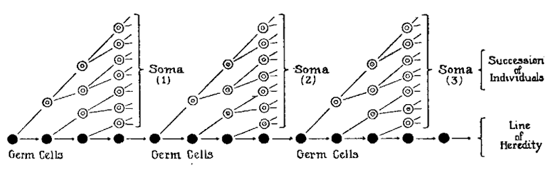 In Weismann's theory, heredity is sequestered in a separate line of germ cells (filled dots) that cross generations. Somatic cells (open dots) originate from inherited germ cells but cannot cross generations.