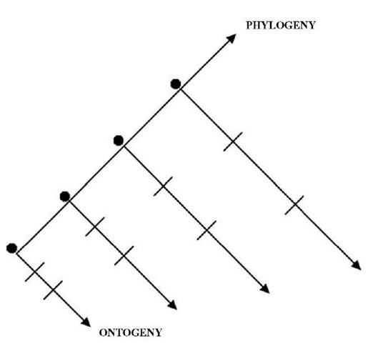 Phylogeny refers to the histories of a class of organisms in which every member is the ancestor of some identifiable class of organisms. These histories can be considered as a successive series of ontogenies that begin with fertilization (•). In this idealized reconstruction, each succeeding ontogeny becomes longer. Furthermore, identifiable stages (-) become proportionally extended with each ensuing ontogeny. Thus, heterochronic alterations in the mechanisms that regulate the process of ontogeny can precipitate phylogenetic change in the form of, for example, speciation.