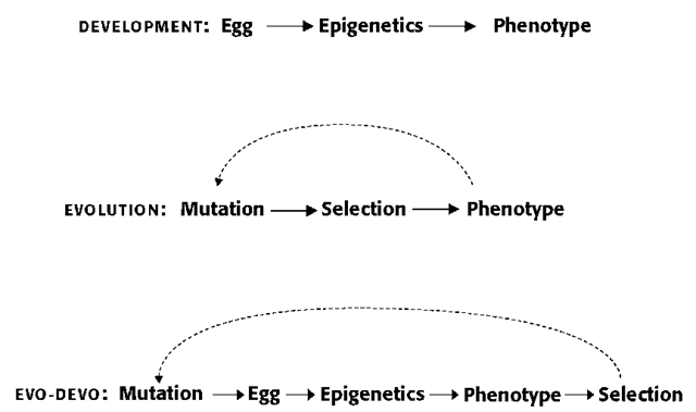 In ontogenetic development, epigenetics serves to mediate the connections between genotype and phenotype (top). Such an intermediary agent is replaced by selection in the Modern synthesis, which acts on the variation created by mutations (middle). Until recently, and most notably with Edelman's theory of neuronal group selection, the concept of Darwinian selection has not been ascribed a prominent role in the study of ontogenetic development. Evolutionary developmental biology attempts to go beyond the Modern synthesis in accounting for the role of epigenetics in biological evolution as well as for selection processes acting on ontogenetic development at any stage (bottom). The solid arrows indicate events within a generation and the dashed ones those that take place between generations.