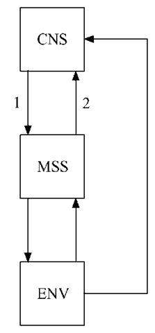 "The central nervous system (CNS) interacts with the musculoskeletal system (MSS) throughout development. Moreover, the latter functions as the interface with the external environment (ENV), with which it also interacts. In a very simplified way, this figure illustrates some of the features of Bernstein's (1967) approach to resolving issues about motor control and coordination which he applied to the development of upright walking in infants. McGraw (1943) also treated motor development, and specifically locomotion, as consisting of bidirectional influences between the CNS and the MSS, and between the MSS and the ENV. The arrow labeled (1) signifies the common interpretation imposed on neuromaturational theories (structure ^ function), which therefore can be seen as omitting the many interactions between intrinsic and extrinsic factors considered by McGraw. The one labeled (2) refers to an interesting proposal by Bernstein (1967) that has implications for understanding (motor) development, which he communicates as follows:""... the reorganization of the movement begins with its biomechanics ... ; this biomechanical reorganization sets up new problems for the central nervous system, to which it gradually adapts"" (pp. 87-89). Thus, according to this rather radical viewpoint, developmental transformations occur not just because the brain changes, but rather the opposite, namely, there are changes in the biomechanical properties of the body segments (i.e., the MSS) to which the developing brain adjusts."