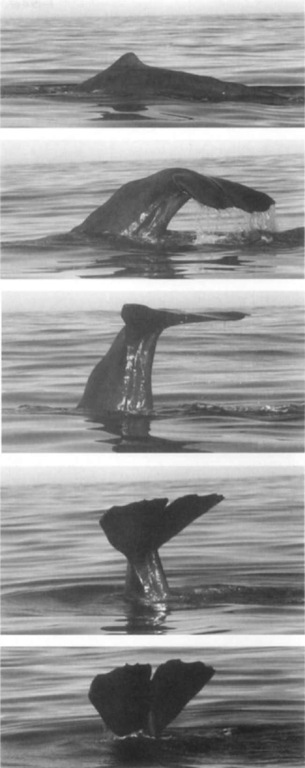 "A sperm whale (New Zealand) in the act of diving and fluking. Initiation of the dive (top), as the back curves just before lifting the flukes. This fluking sequence shows a particularly high ""fluke out"" before a fully vertical descent."