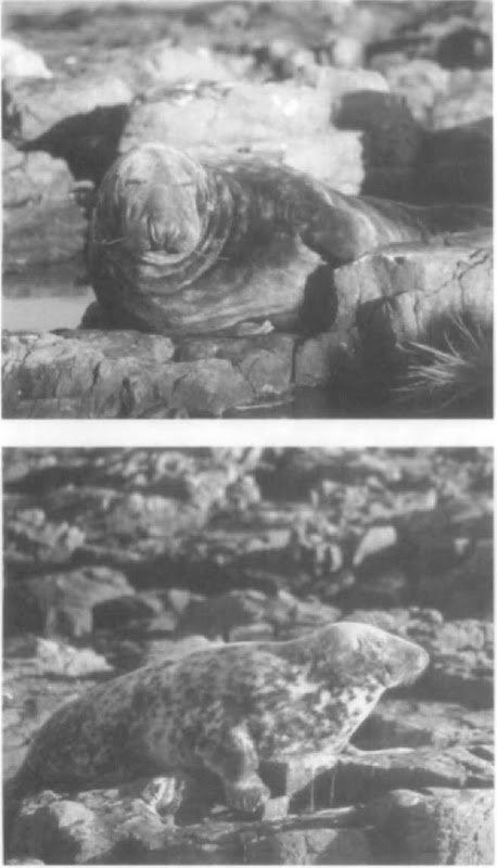 Adult male (top) and female (bottom) gray seals. The female has distinct markings on the fur, whereas the male is more uniform in color and larger than the female.
