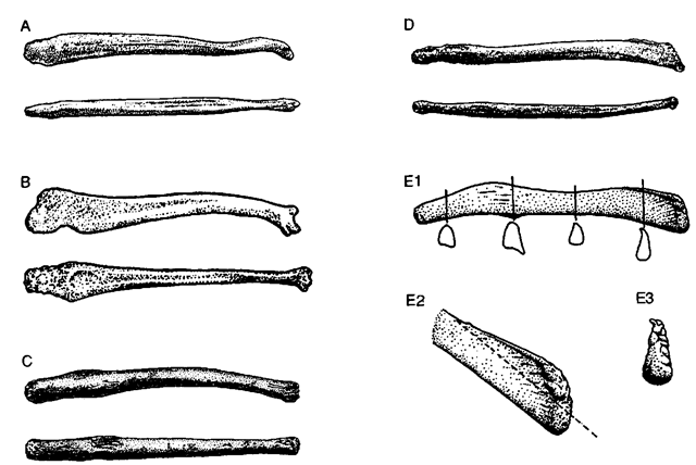 Bacula of adult (A) polar bear, (B) sub-Antarctic fur seal (Arctocephalus gazella), (C) Mediterranean monk seal (Monachus monachus), (D) crabeater seal (Lobodon carcinophaga), and (E) Weddell seal (Leptonychotes weddellii). Bacula in A-D are shown in right lateral (upper) and ventral (lower) views and are not shown to the same scale. El: baculum in right lateral view; note cross-sectional shapes at the indicated points. E2; oblique view (right side) of the bacular apex (same baculum); dashed line emphasizes how much growth occurs in the crest (above the line) following sexual maturity. E3: apical view (dorsal surface above; same baculum). A from Didier (Mammalia 15,11-22; 1951); Bfrom Didier (Mammalia 16, 228-239; 1952); Cfrom van Bree (Mammalia 58, 498-499; 1994); Dfrom Didier (Mammalia 17, 21-26; 1953); and Efrom Morejohn (J. Mammal. 82, 877-881; 2001).