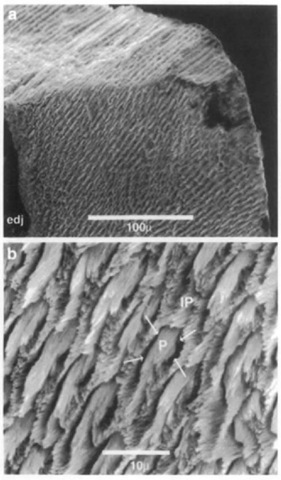 (a) Scanning electron micrograph of fractured enamel near tip of tooth (unidentified Pliocene odontocete, Lee Creek Mine, North Carolina). The naturally fractured surface (at top) shows that the prisms take a straight course from the enamel-dentine junction (edj) to the outer surface, as is typical in radial enamel, (b) High magnification view showing enamel prisms (P) sectioned oblique to their long axes. Prism crystallites are parallel to each other, but not to crijstaUites in adjacent interprismatic enamel (IP). Arrows indicate the position of the prism sheath, which has been artificially enlarged in this acid-etched specimen.