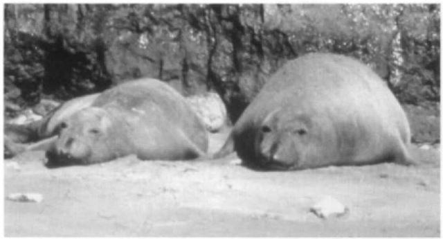 An adult female northern elephant seal early (right) and late (left) in the lactation period. Northern elephant seal females lose between 35 and 45% of body mass daring breeding.