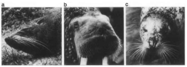 Heads of various pinnipeds showing facial vibrissae: (a) New Zealand fur seal, Arctocephalus forsteri, (b) walrus, Odobenus rosmarus, and (c) Pacific harbor seal, Phoca vitulina richardii.