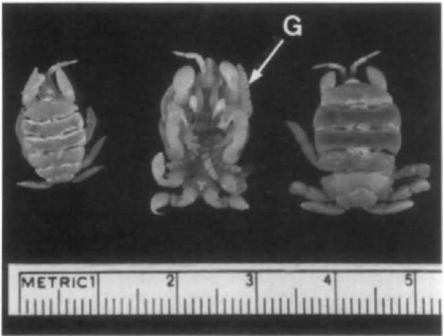 Three specimens of Cyamus scammoni showing ventral surface on center specimen. The gills (G) of this species have a spiral shape.