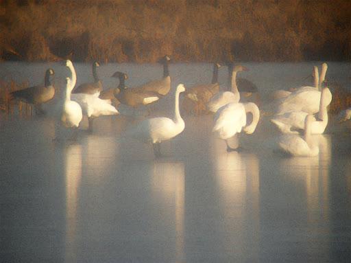 Swans.J67WPoSa3zgH.jpg