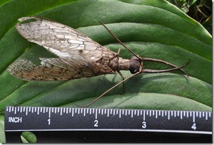 big bug size