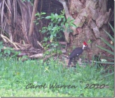 Pileated 4cs