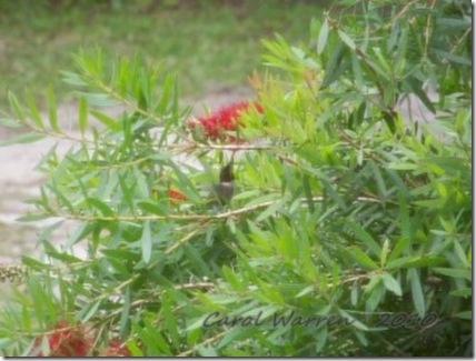 Hummingbirdcs