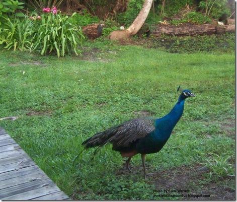 Peacocks in the yard 008cs