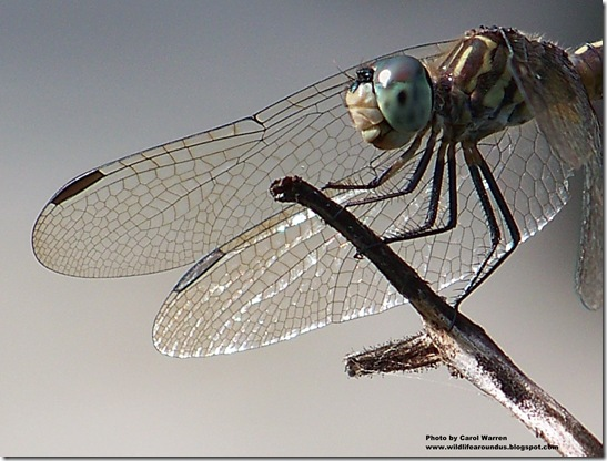 female Blue Dasher 052cs