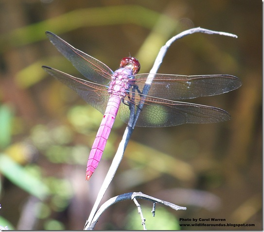 red Dragonfly 056cs