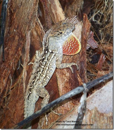 Cuban Brown Anole 021cs