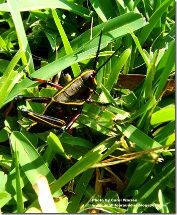 Grasshopper 027cs