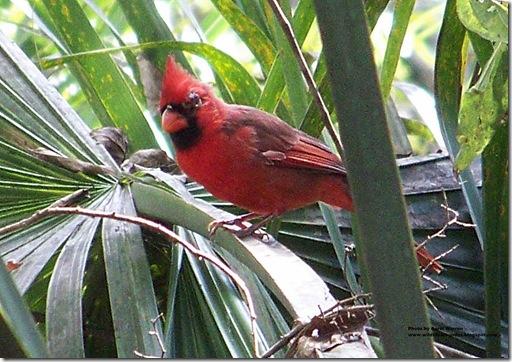 Cardinal (10)cs