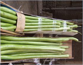 Sizilianische Küche - Besonders lange Zucchinis - zucca lunga