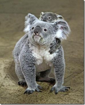 koala2