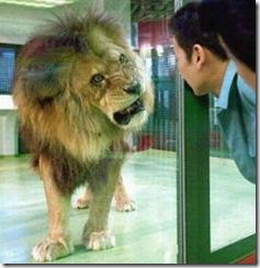 lion-&-taau