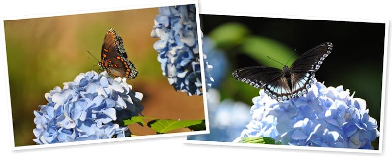 View butterfly-hydrangea