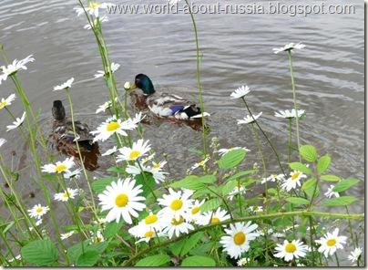 Ромашки и утки на озере