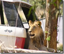wild animal park lion in suv