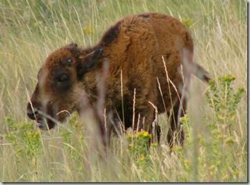 csp bison calf