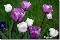 Tulipa Prince Charles og Shirley