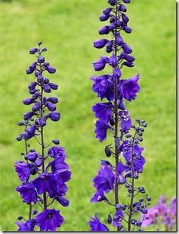 Delphinium Blue