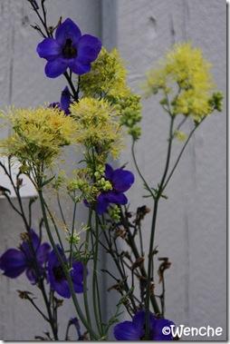 Delphinium hybrid
