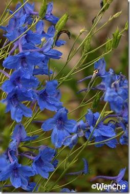 Delphinium Blauer Zwerg