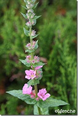 Lychnis salicaria 'Blush'