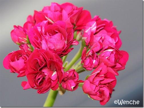 Plum Rosebud