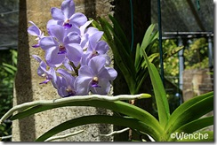 Ascoscenda-x-Vascostylis-Fi