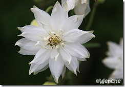 AquilegiaClematiflora